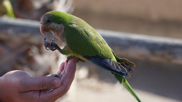 Papegaai, Groene