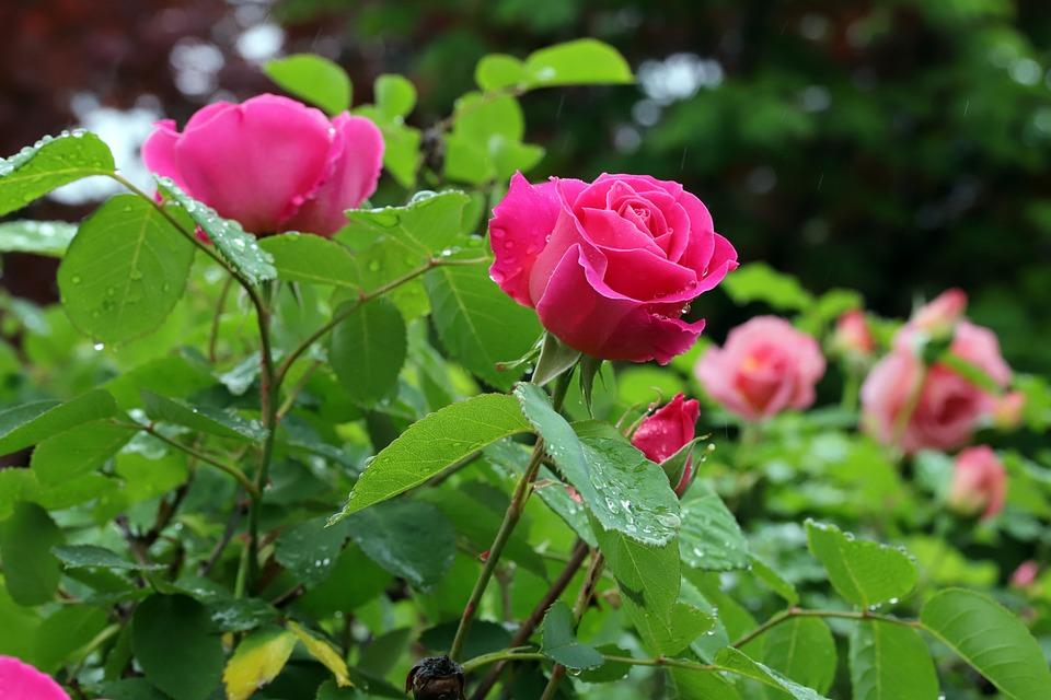 Rose Flowers Nature , Free photo on Pixabay