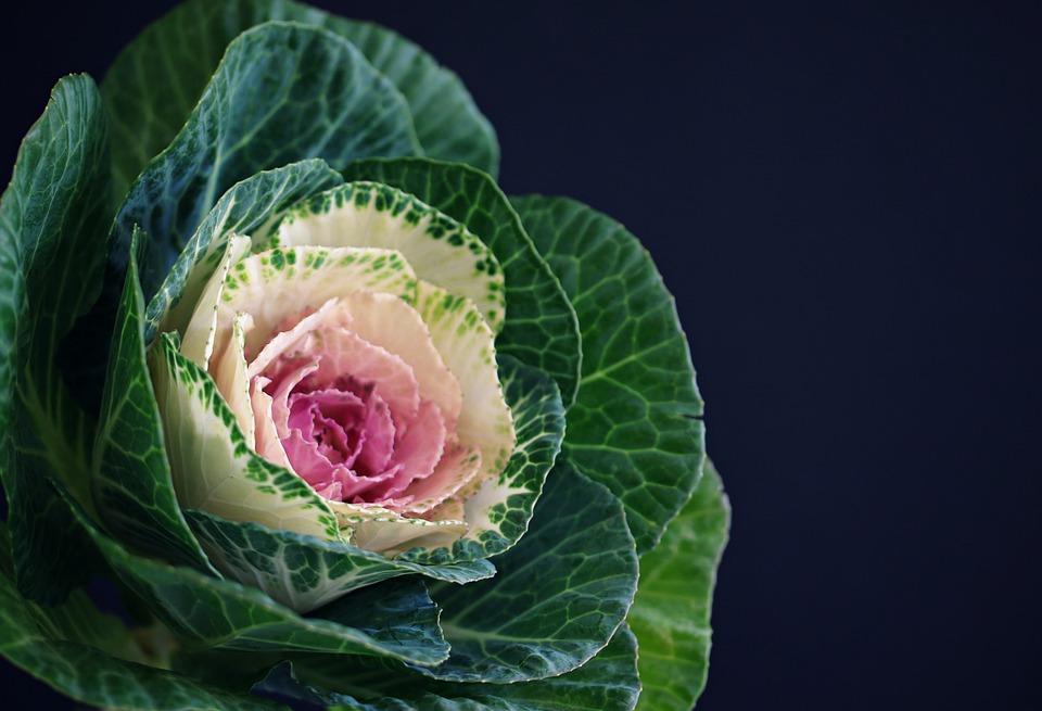 Cavolo Rosa, Fiore, Impianto, Natura, Botanica, Flora