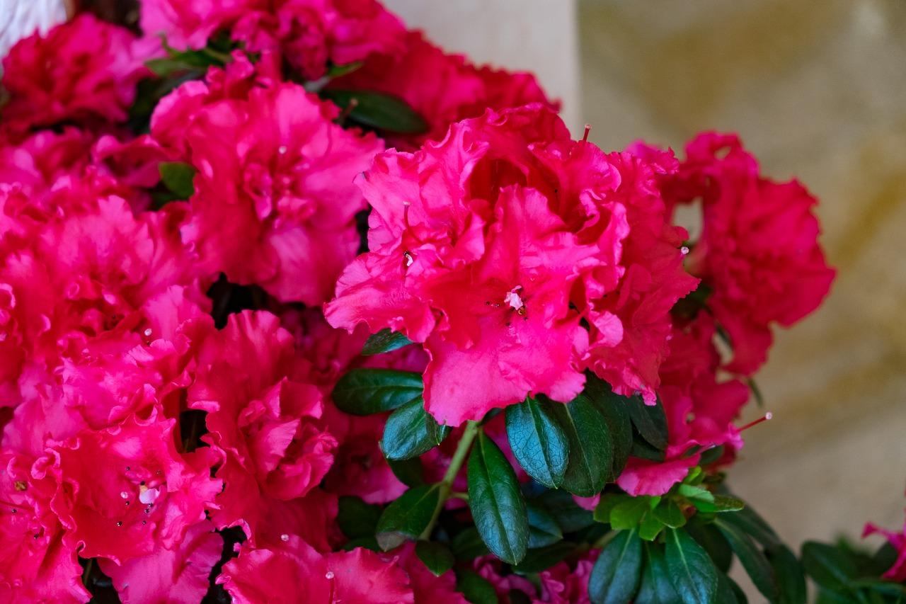 комнатные цветы азалия фото названия и уход нравился мой