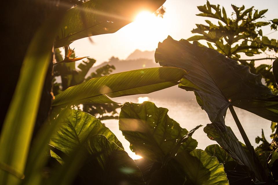 Plant, Sunlight, Tropical, Leaves, Sunset, Evening