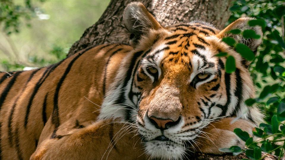 Tigre, Relax, Natura, Pigro, Animale, Predatore