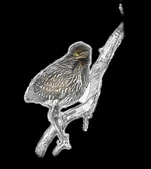 2 Free Nankeen Night Heron Sketch Illustrations Pixabay