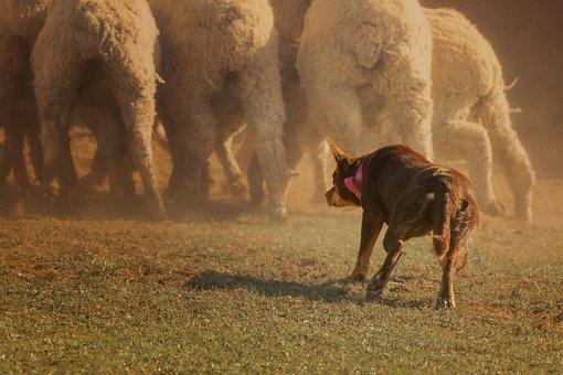 Australian Kelpie, Dog, Sheep, Kelpie