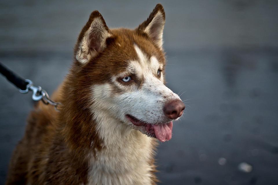 Perro, Animales, Brown, Mascota, Buscando, Retrato