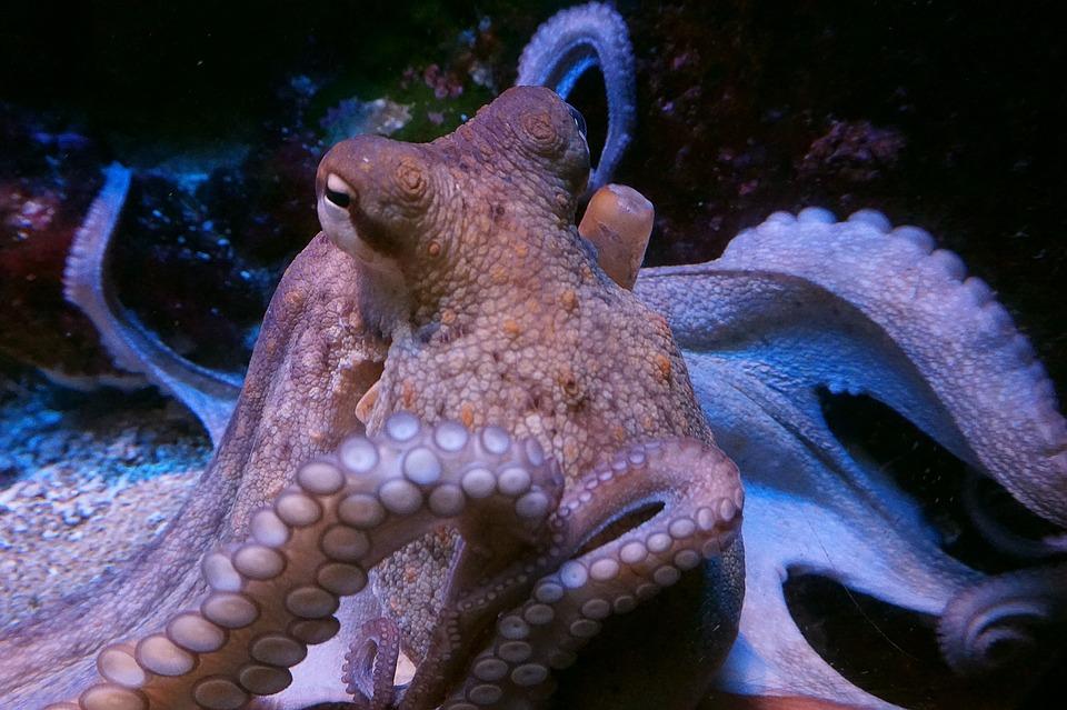 Squid, Octopus, M, Calamari, Meeresbewohner, Food