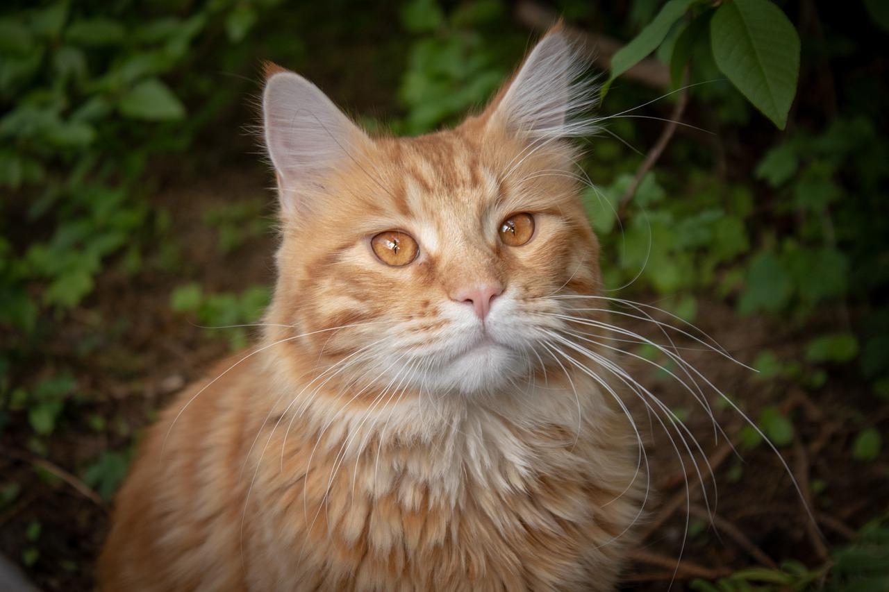 Crinière du Couchant - Guerrier - Nuit Cat-4222838_1280