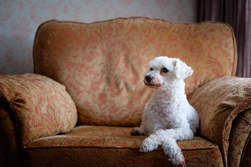 Dog, Chair, Pet, Cute, Animal, Poodle