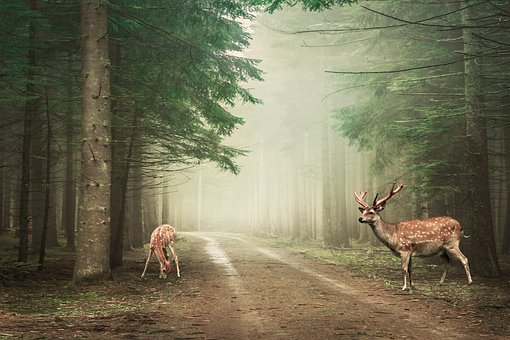 Paysage, Forêt, Cerf, Nature, Chemin
