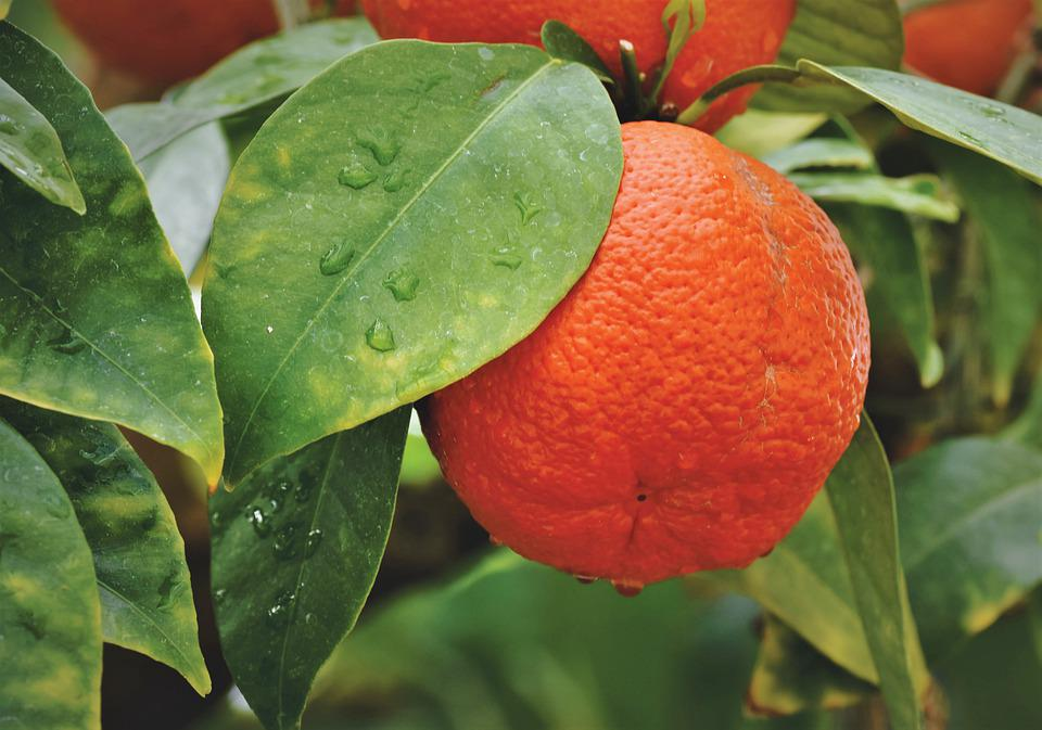 Arance, Orange, Orange Tree, Agrumi, Frutta, Vitamine