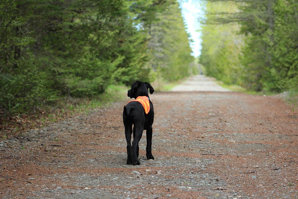 Puppy, Black, Dog, Hunting, Safety Vest, Animal, Pet