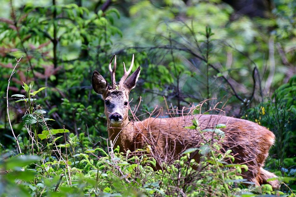 Hirsch, Wald, Natur
