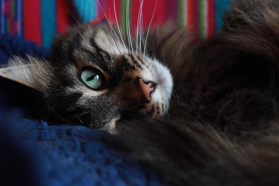Afirican kočička