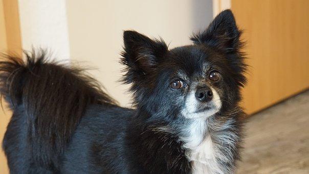 Chihuahua, Dog, Small, Cute, Sweet
