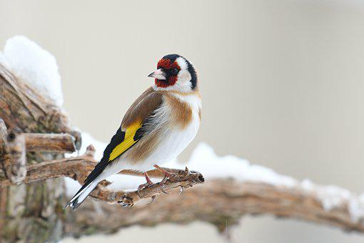 Goldfinch, Bird, Nature, Beak, Wings