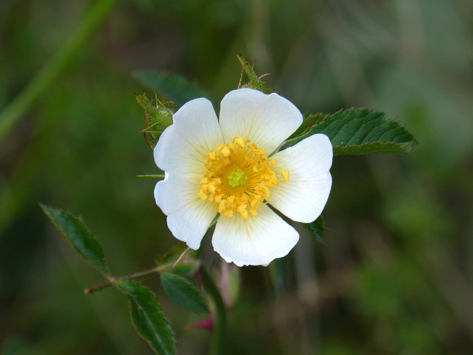 Rosa Canina, Fiore Selvaggio, Rosa Selvatica, Bellezza