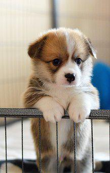 Pembroke Welsh Corgi Puppies For Sale in Wisconsin