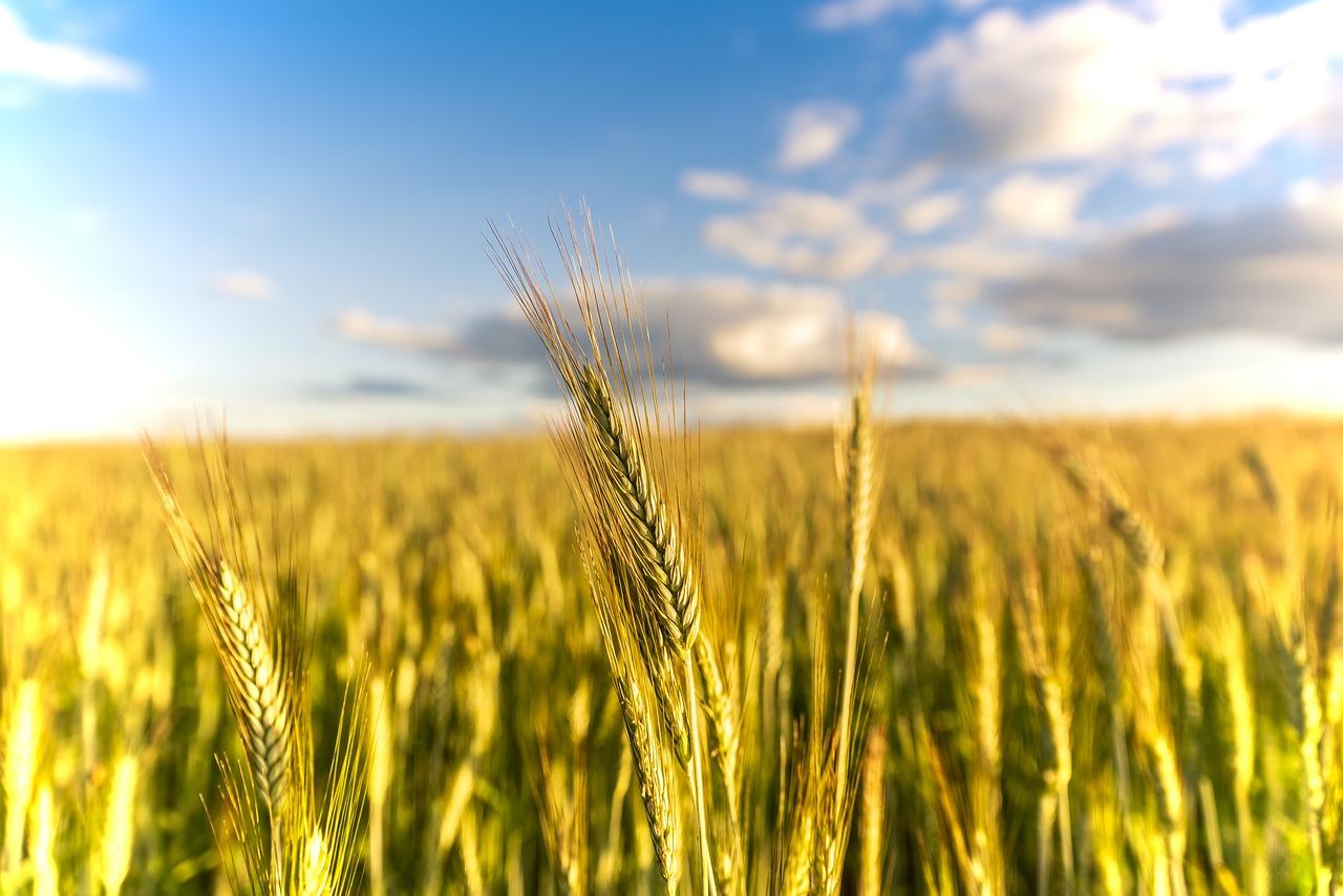Картинка поле зерновых