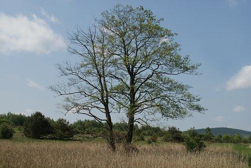 muž Pinus obrázky