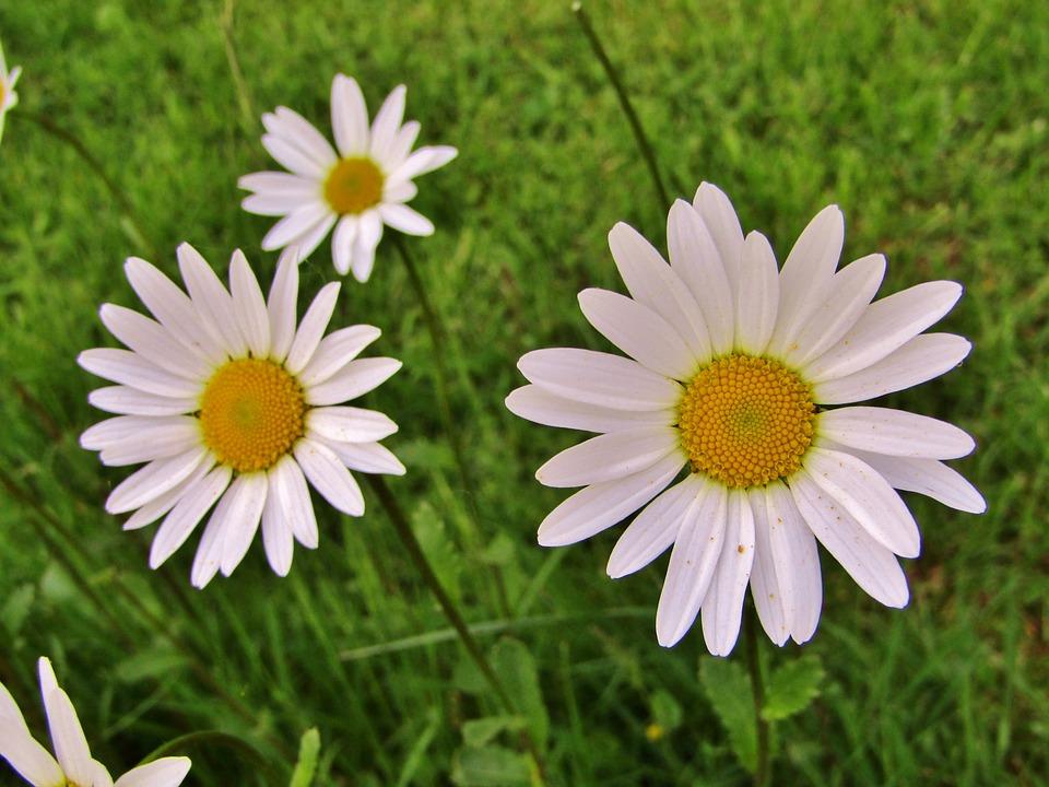 Fiori Tipo Margherite.Margherita Fiori Singoli Foto Gratis Su Pixabay