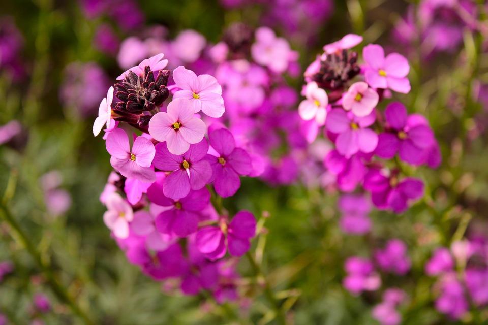 Flower, Wallflower, Plant, Garden, Nature, Flora