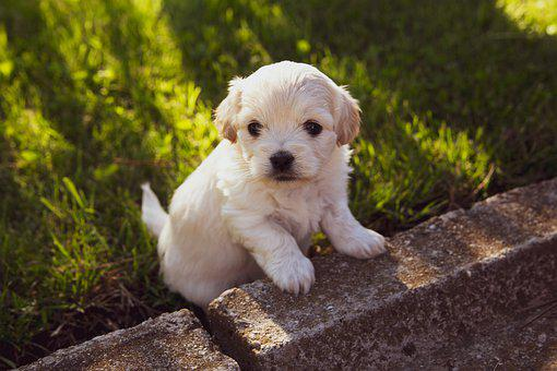 Puppy, Dog, Pet, Animal, Cute, Adorable