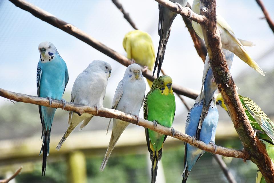 Vogels, Papegaaien, Dierlijke, Natuur, Gevederte, Veer