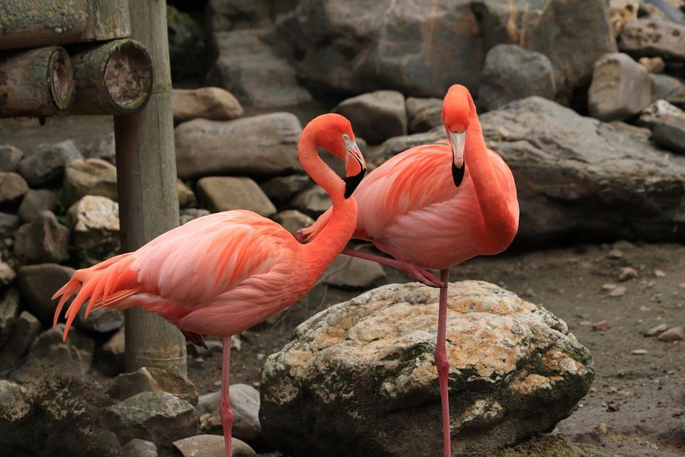 Flamingo, Kuş, Pembe, Turuncu, Doğa, Fauna, Tropikal
