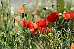 mak, kwiat, roślin