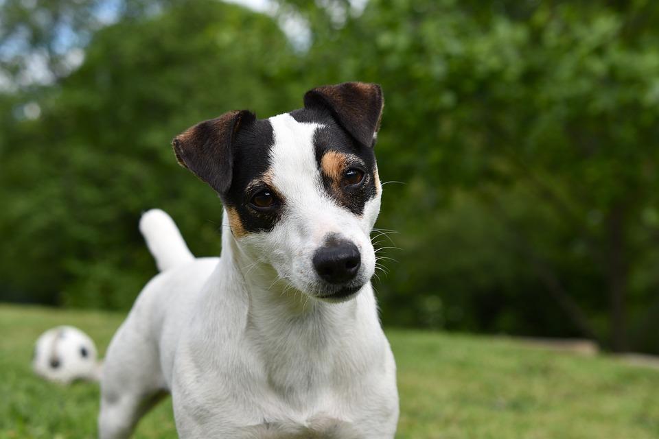 Dog, Jack Russel, Animal, Terrier, Cute