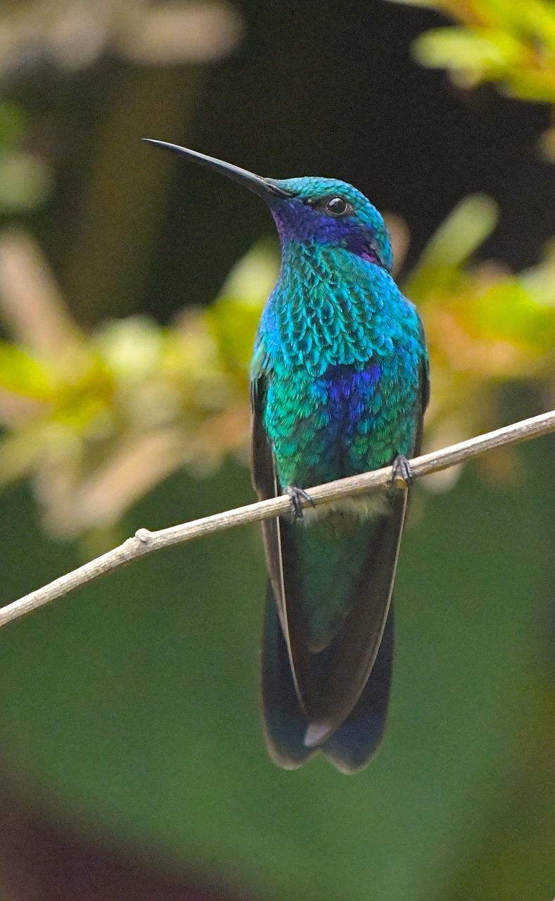 Синий колибри фото