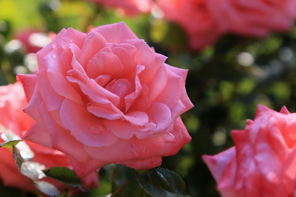 Rose Belle Printemps Photo Gratuite Sur Pixabay