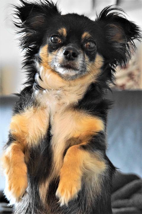 Chihuahua, Cane, Piccoli, Carino, Maschi, Accattonaggio