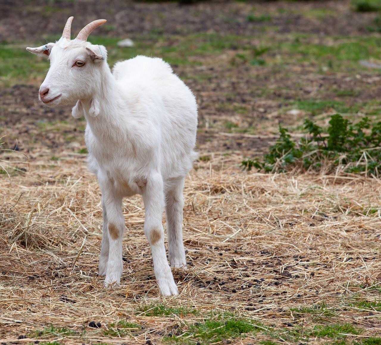 картинки козы в полный рост арутюнян ходе судебного