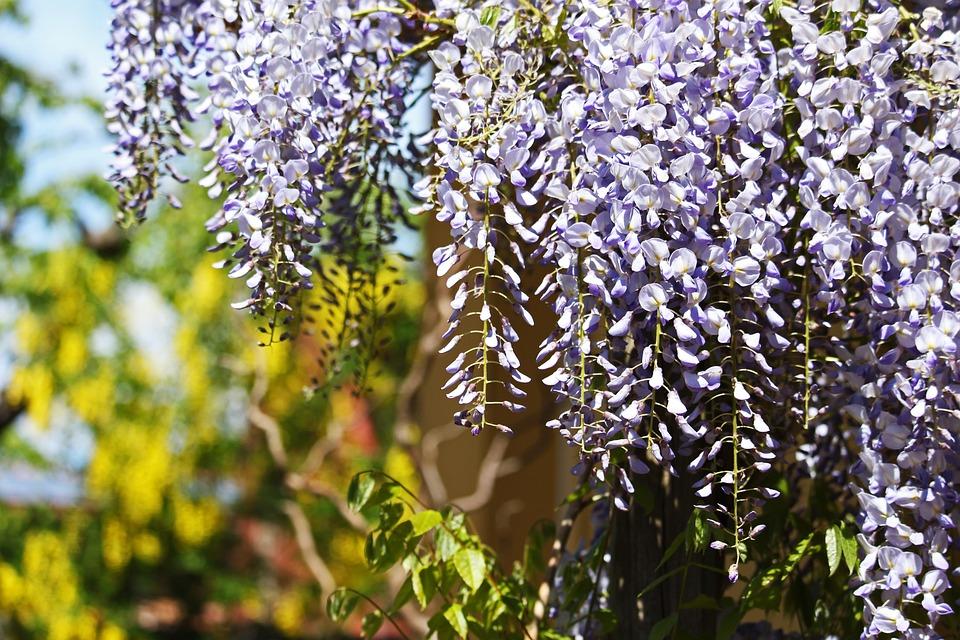 Blue Rain, Creeper, Laburnum, Garden, Spring, Nature