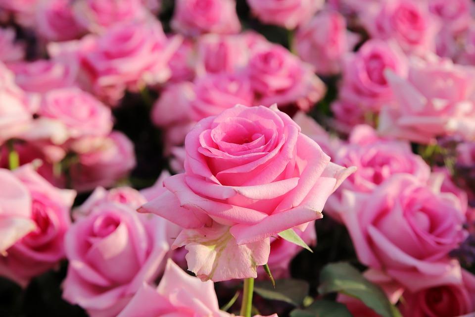 Rose, Fleur Rose, Pétale, Fleurs, Beau, Jolies Fleurs