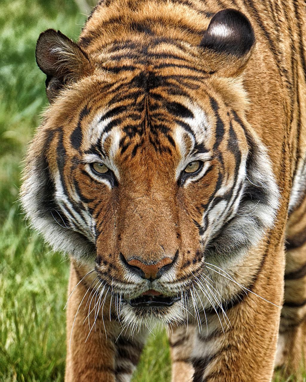 Картинки одинокая тигрица