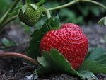 truskawka, elsanta, zbiorowe orzech owoc