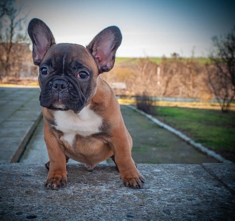 Ranskanbulldoggi Pentu Pet Ilmainen Valokuva Pixabayssa