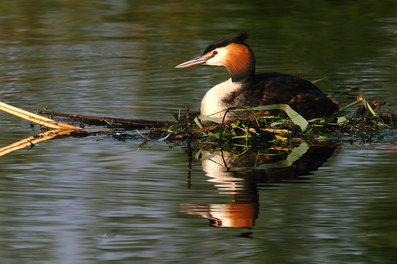 водоплавающие птицы юга финляндии фото и названия только слесари