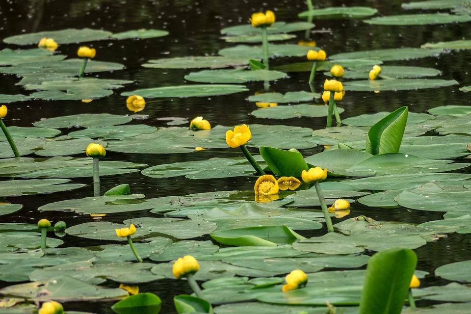 Ganz und zu Extrem Teichrosen Seerosen Teich - Kostenloses Foto auf Pixabay &TP_93