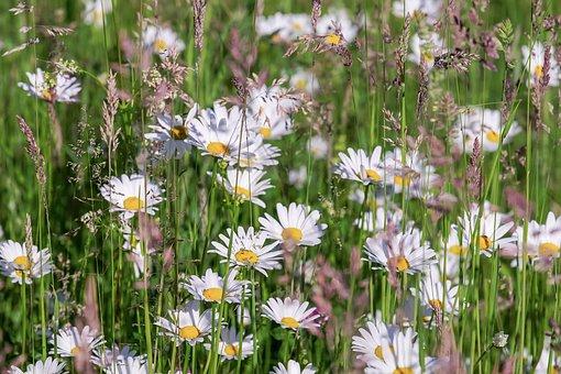 Sedmikrásky, Květ, Louka, Květinové