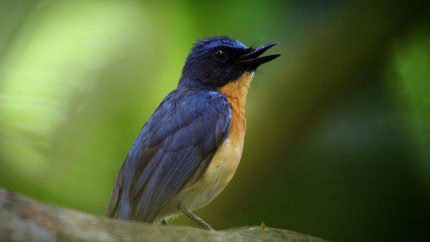 Kerala, India, Tickell'S Blue Flycatcher
