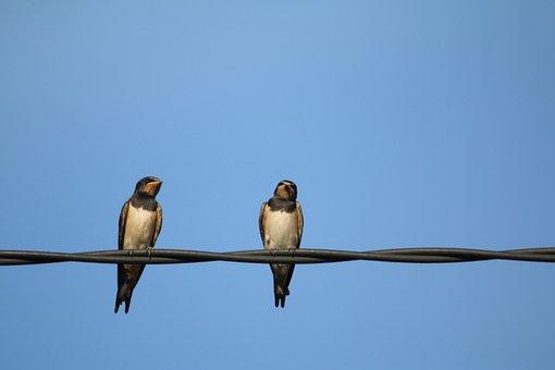 Hirondelles, Oiseaux, Nature, Aile, Bird
