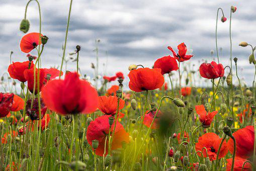 Poppy Flower, Field Of Poppies