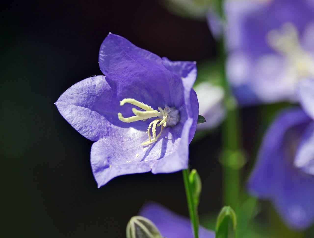Колокольчики цветы купить киев, 101 роза дешево