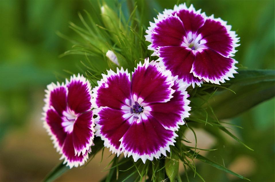 Bunga Anyelir Beraneka Ragam Foto Gratis Di Pixabay