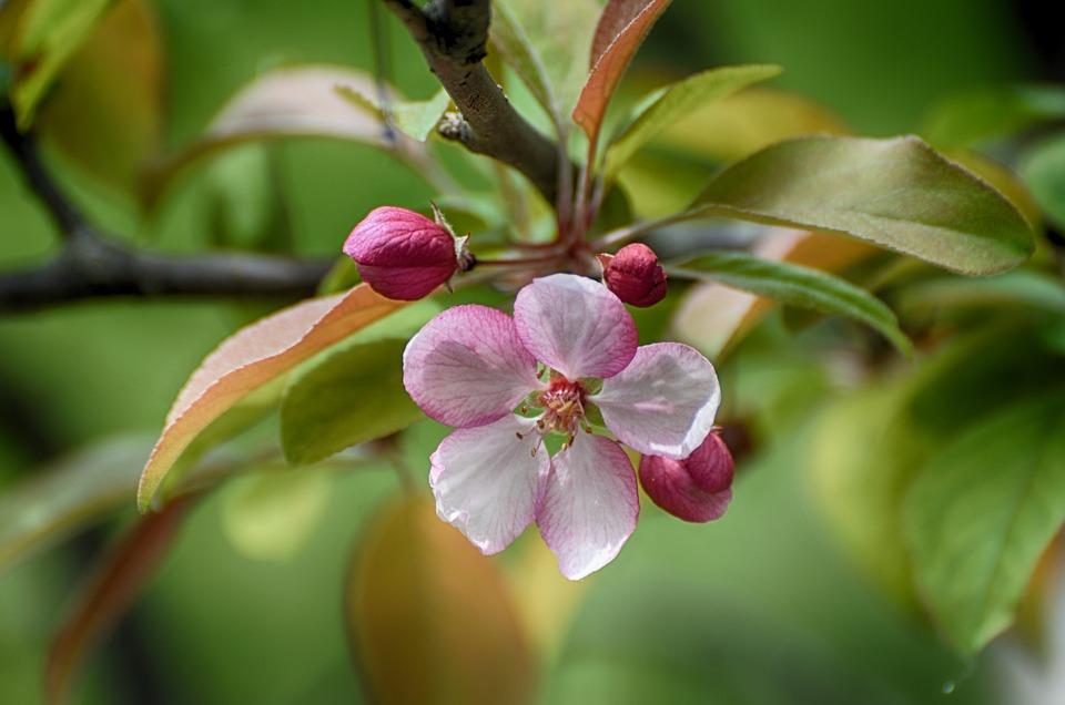 Fiori In Fiore, Fiori Di Melo, Crab Apple, Fioritura