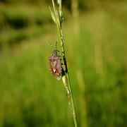 Pluskwiak, Meadow, Nature, Insect