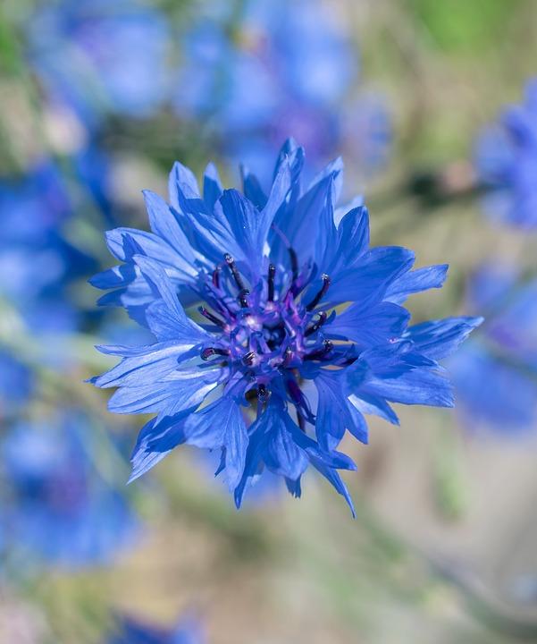 Bleuet Des Champs, Fleur, Violet Bleu, Nature, Plantes
